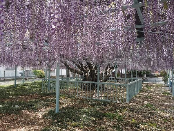 藤棚の下から見た藤の花の風景