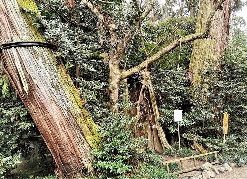 境内にある不思議な三本杉の画像