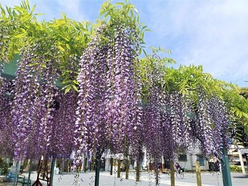 綺麗に咲いている藤の房の画像