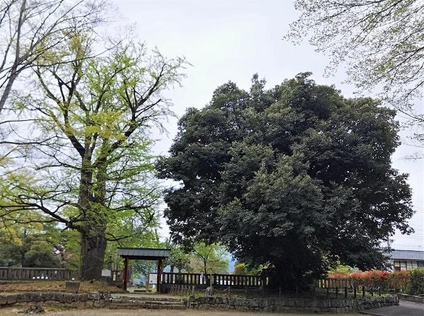 とみおか名木十選に認定されている2つの木の風景