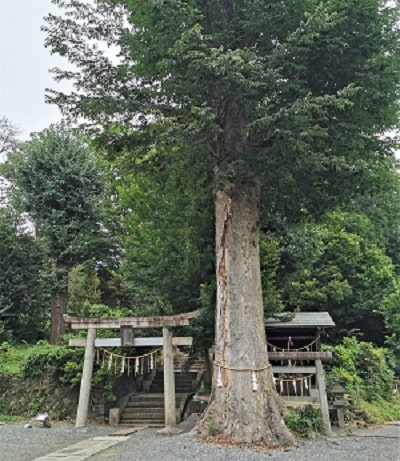 境内社2社の鳥居と御神木の風景