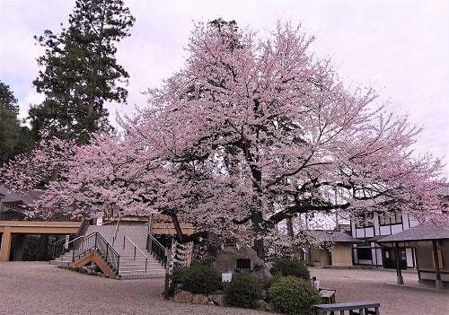 御神木である立派な桜の木の風景