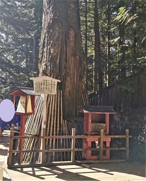 そびえ立つ杉の風景