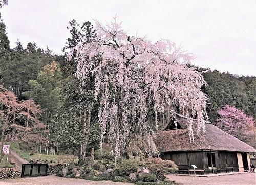 高麗家住宅としだれ桜の風景