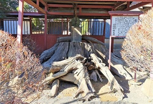根元だけの熊杉の風景