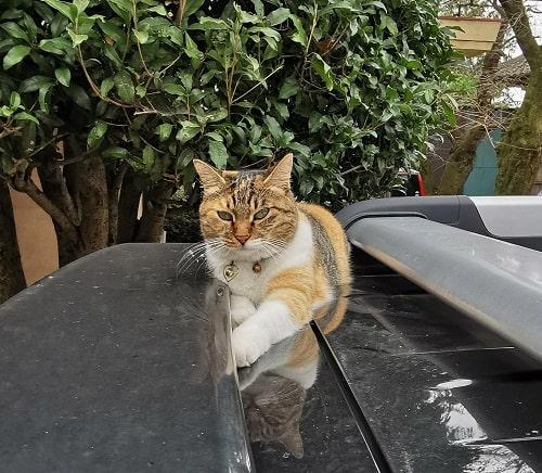 車の上にいる猫ちゃんの画像