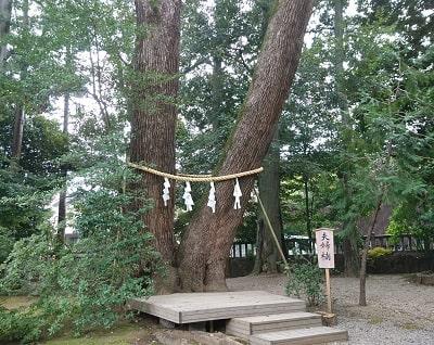 大宮氷川神社で縁結びにご利益のある夫婦楠