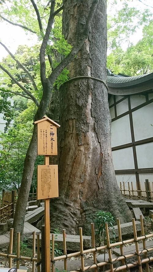 川越氷川神社のご神木