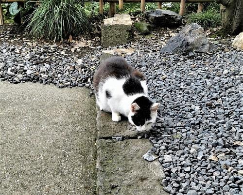 白黒猫ちゃんがご飯を食べている様子