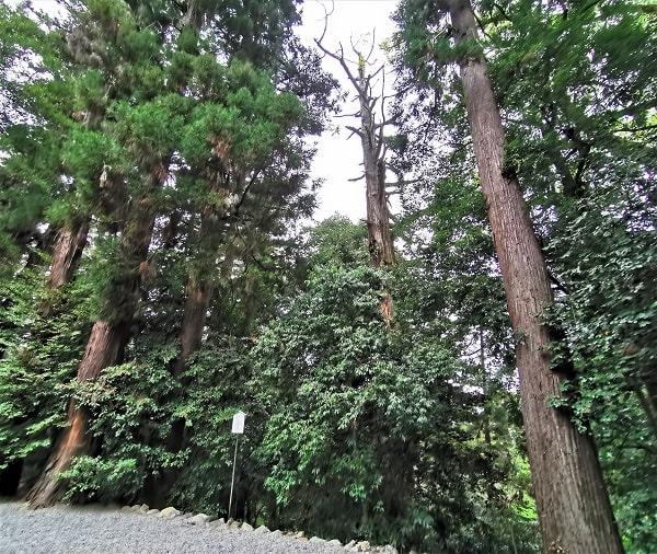 樹齢1200年以上の大杉の風景
