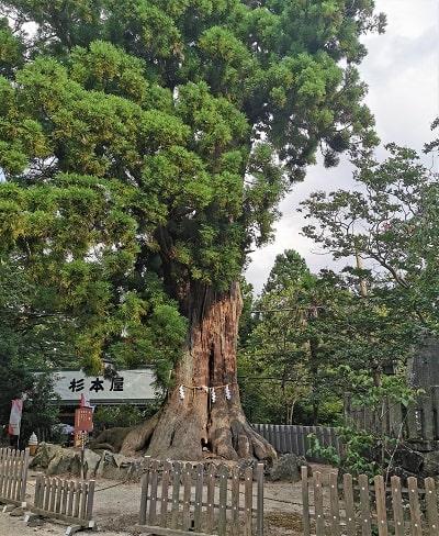巨大な大杉の風景