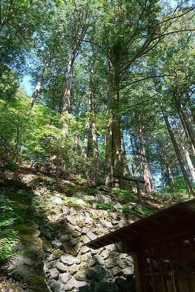 縁結び(違う木のヒノキとモミの木)が寄り添っている風景