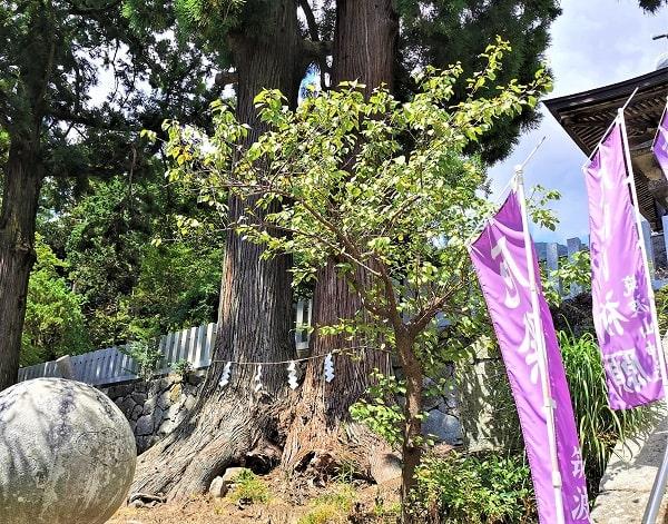 2本並んでいる大きな木の風景