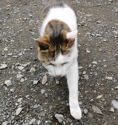後を追ってくるトラ猫ちゃんの画像