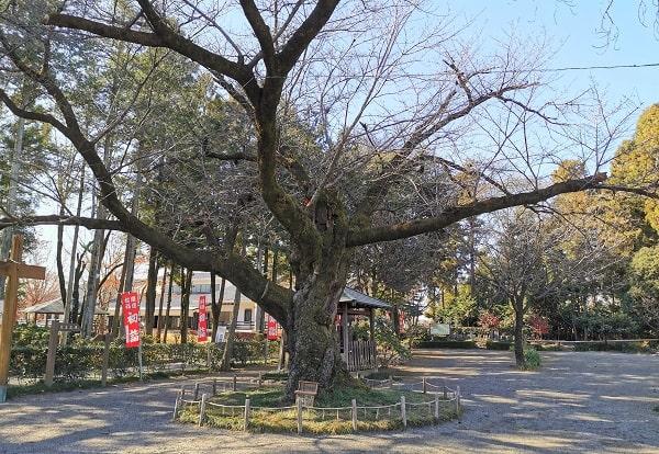 枝だけの桜の木の風景