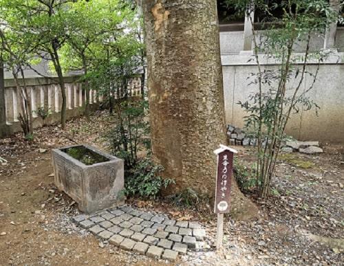 社殿の奥にある生命力の木といわれている古い欅の木の風景
